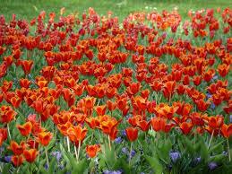 tulips flowers free photo tulips flowers flower free image on pixabay