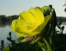 missouri native plants missouri evening primrose mdc discover nature