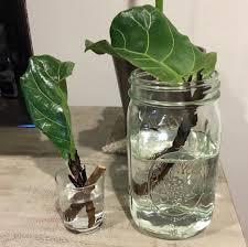 Fiddle Leaf Fig Tree Care by Pruning U0026 Propagating Fiddle Leaf Fig Plants U2013 Astral Riles