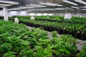 date of canadian thanksgiving 2014 canadian marijuana stocks u0027 trading halted amid panic buying and