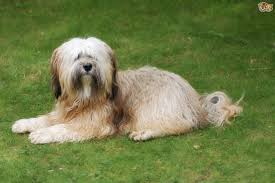hair cuts for the tebelan terrier how to keep a tibetan terrier s coat looking good pets4homes