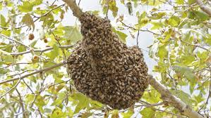 how long does it take bees to make a hive reference com