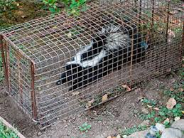 How To Get Rid Of Raccoons In Backyard How To Get Rid Of Skunks Quick And Effective Methods Of Skunk Removal