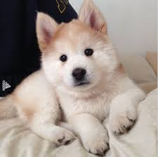 australian shepherd mixed with husky best 25 chow chow mix ideas only on pinterest german dogs