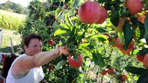 best places for apple picking in the bay area cbs san francisco