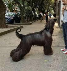 afghan hound coat colors 1254 best afgan hounds images on pinterest afghans afghan hound