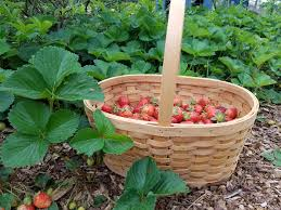 how to get a bumper crop of strawberries next season journey