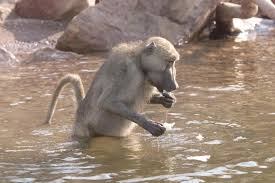 ninja baboons use super sneaky stealth tactics to raid people u0027s