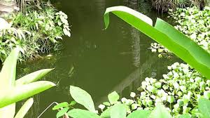 tilapia and water lilies in pond philippines youtube