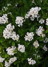 Identify Flowers - please identify this flowering bush flowers forums