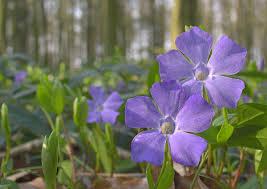 google images flower bloom clock keys global temperate early spring purple flowers