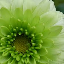 Lime Green Flowers - the meaning and top 19 beautiful green roses green flowers