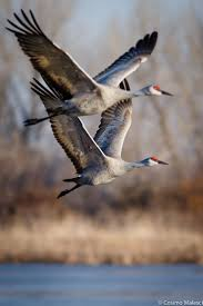 68 best cranes images on pinterest crane beautiful birds and