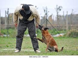 belgian shepherd quebec military dog attack stock photos u0026 military dog attack stock