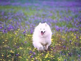 types of american eskimo dogs american eskimo dog breed details of american eskimo dog