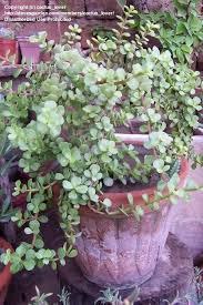 25 best elephant plant ideas on pinterest elephant ear plant