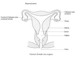 The Anatomy Of The Male Reproductive System Human Reproductive System Male And Female Reproductive System