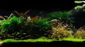 Amano Aquascaping Takashi Amano Tribute Aquascape By James Findley Pebbles