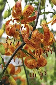 Lily Flower Garden - 67 best flowers images on pinterest flower gardening best roses