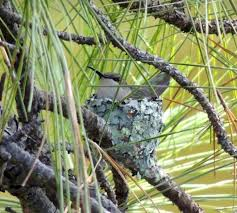 Hummingbird Migration Map Now Is The Time To Prepare For Hummingbirds U0027 Arrival Wildlife