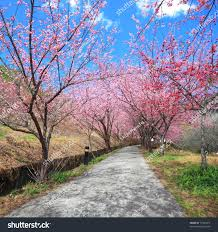 pathway into spring cherry blossom trees stock photo 72229411