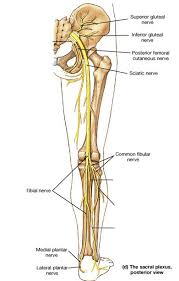 Anatomy Of A Foot The Nerves Of The Leg And Foot Anatomy Of The Nerves Of The Leg