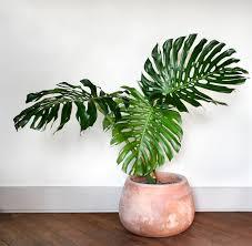 Indoor Vine Plants Create An Indoor Jungle With These Large Indoor Plants Pistils