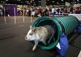 bedlington terrier seattle seattle dog show 2015 seattlepi com