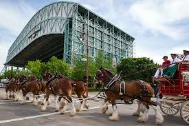 thanksgiving parade in houston budweiser gives clydesdales holiday pink slip houston chronicle