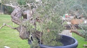 european bonsai bonsai empire