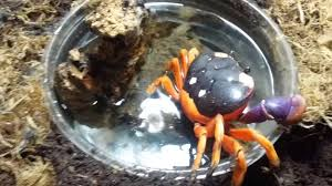 halloween moon crab setup youtube