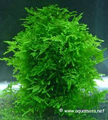 Java Moss Aquascape A Guide To Keeping And Growing Aquatic Moss U2022 Aquascaping Love