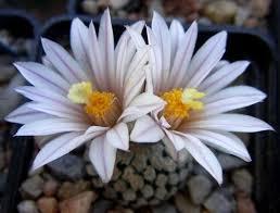 Daisy The Flower - 108 best turbinicarpus images on pinterest flowers cactus and