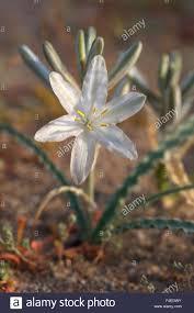 usa california anza borrego desert state park desert lily stock
