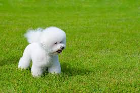 bichon frise training types of small fluffy dogs