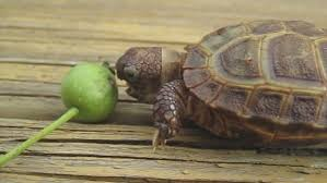 tiny tortoise who determinedly tried and failed to eat a crab