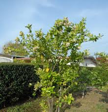 backyard with hedges and fruit trees time to pruning fruit trees