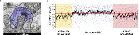 zebrafish synapse proteome complexity evolution and