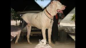 belgian sheepdog price in india lakhewali dog breeders muktsar punjab india sirsa haryana youtube