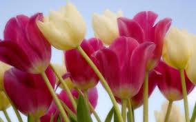 wallpaper bunga tulip bunga tulip wallpapers for free download about 59 wallpapers