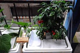 hydroponic farming growing tomatoes indoor plants expert