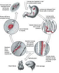 biology and genome of trichinella spiralis