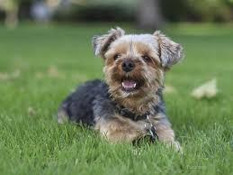 hemorrhagic gastroenteritis hge looms large over small dogs