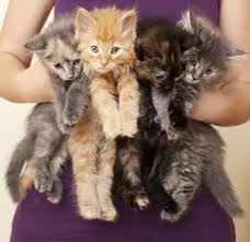 fascinating facts about domestic shorthair cats