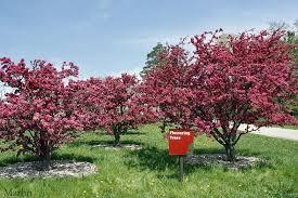Profusion Flowering Crabapple - adams crabapple trees grows 25 u0027 tall persistent red fruit