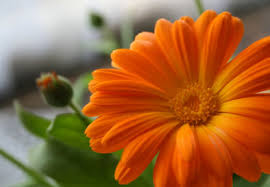 calendula flowers birth month flower of october the calendula