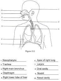 blank respiratory system respiratory system blank danasrgf top