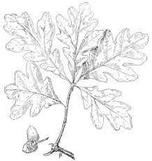 White Oak Tree Drawing File Psm V49 D819 White Oak Leaf Jpg Wikimedia Commons