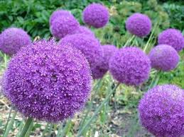 popular garden flower colourful seeds with edge color