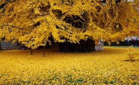 of china tree 1 400 year gingko tree awes crowds as it sheds leaves to form a